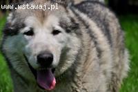 Fux - niezwykle inteligentny malamut szuka domu