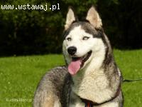 GRETA- radosna i energiczna suczka husky do adopcji