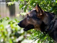 Wspaniały pies ARGO szuka dobrego domu
