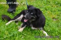 SAKARI- mądra i grzeczna  mix Husky i Berneński do adopcji