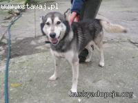 CHUCK- mądry  pies w typie rasy Alaskan Malatute do adopcji