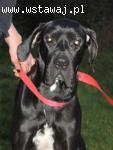 Ludwiś - Dog Niemiecki do adopcji