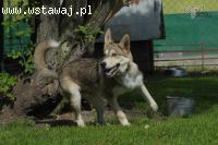 NORRIS- młody, energiczny pies husky do adopcji