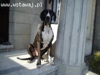 Baflo dog niemiecki do adopcji