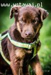 MOKKA - CUDOWNE psie DZIECKO, czekoladowa SUNIA czeka na dom