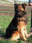 Remez - młody pies, mix owczarek niemiecki, adopcja
