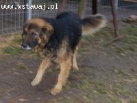 FOREST piękny pies o wspaniałym charakterze szuka domu