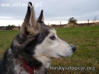 LEO- mądry, spokojny pies husky do adopcji