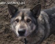Bombur - łagodny, przyjacielski pies mix alaskan malamute