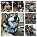 Timba - psi anioł, senior w typie alaskan malamute