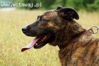 Naszor- młody, bullowaty pies szuka domu