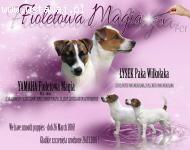 Jack Russel Terrier szczeniaki gładkowłose Fioletowa Magia F