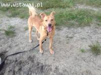 Dwuletni, przyjazny Rodi, wesoły psiak szuka kochającego dom