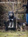 Młodziutki Agent, super pies w typie OWCZARKA szuka domu