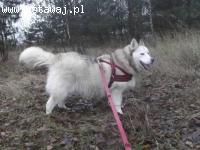 Beza kochana, nieśmiała suczka husky 4,5 roku w schronisku