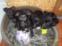 4 siostry czekają na nowe domy! SZCZENIĘTA