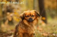 Odi - super pies jak pekińczyk szuka domu!