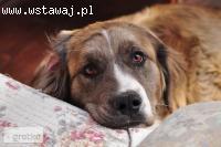 Miecia-wielki psi dzieciak w typie BERNARDYNA do adopcji!