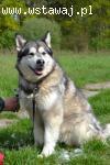 Vanja prawdziwa malamucia dama szuka domu alaskan malamute A