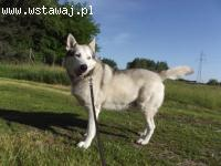 Szariś pogodny, wesoły, kochany malamucik alaskan malamute A
