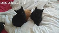 Dwa czarne przystojniaki szukają domku! KOCIĘTA