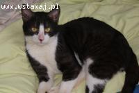 Nexoz,kot kochający człowieka ponad wszystko szuka domu!