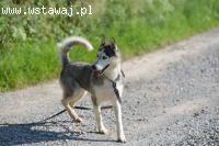 Gaja, młoda, wesoła, aktywna suczka siberian husky ADOPCJA