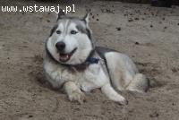 Rudi wesoły, aktywny siberian husky czeka na uśmiech losu