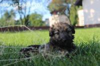 Trufel - 9 tyg szczeniaczek szuka domu