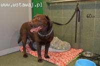 Niko - czekoladowy labrador do adopcji