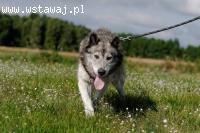 Shaky pies w typie alaskan malamute szuka domu! Adopcja! Mal