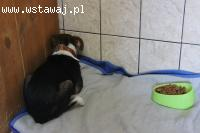 Rodżer - psi dzieciak, BEAGLE mix, przerażony i wciśnięty w