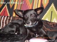 Bezdomna Jessie, 7 miesięczna i nakolankowa sunia szuka domu