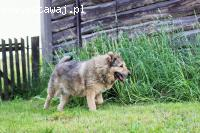 Drako, wpatrzony w opiekuna, grzeczny psiak szuka domu!