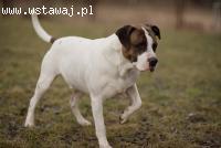 Leon, cudowny pies w typie TTB szuka domu!