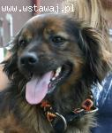Uroczy, nakolankowy Chester, cudowna psinka szuka domu!