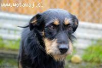 Tonic, niekonfliktowy, przepiękny pies szuka kochającego dom