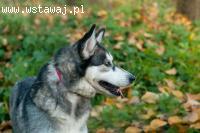 Drobniutka, łagodna, nieśmiała suczka siberian husky OTTI ad
