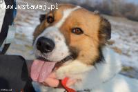 Feniks młody, wesoły, łagodny pies ADOPCJA