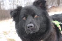 Sasza - 1,5 roczny psiak w typie BORDER COLLIE szuka domu
