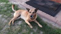Gufi, grzeczny w domu, niekonfliktowy, zrównoważony pies ide