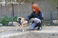 Rex, niewielki, niesamowicie wesoły domowy psiak szuka domu!