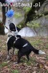 Łatek, domowy BORDER COLLIE mix, inteligentny, przyjazny psi