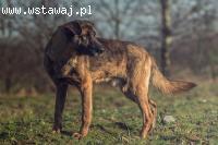Sułtan, przepiękny molosowaty pies czeka na dom!