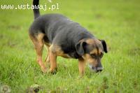 Felix elegancik, posłuszny, niekonfliktowy psiak szuka domu!