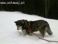 Wesoła, łagodna, koto i pso lubna suczka alaskan malamute