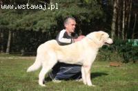 Biały, piękny pies w typie labradora do adopcji