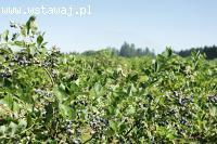 Borówka amerykańska Nelson Krzew owocowy