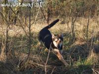 Kaj - młody pies o super charakterze szuka domu