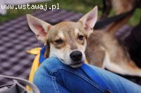 Luna, 6 miesięczna sunia w typie WILCZAKA SZCZENIAK adopcja